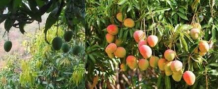 Alphonoso mangoes in Dapoli , Ratnagiri